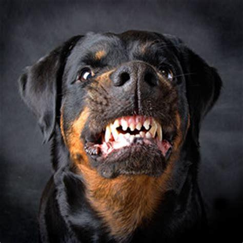 rottweiler attacks on humans retriever labrador rottweiler attacks