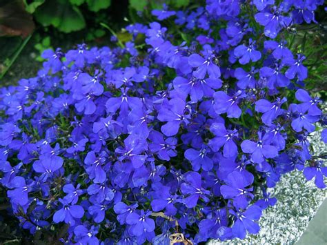 Reasonable Home Decor lobella lobelia http lomets com