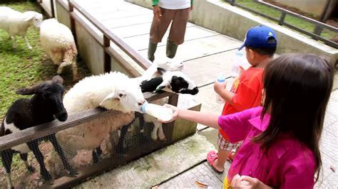 kuntum nurseries farm field wisata ternak hd experience