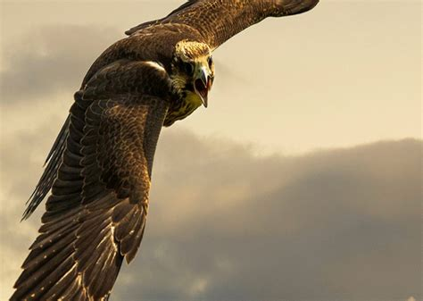 wallpaper 4k eagle flying eagle iphone 4k hd wallpapers hd wallpapers