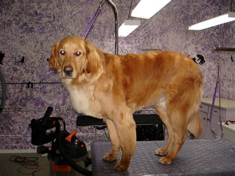 grooming golden retriever golden retriever fantastic pet encyclopedia uk