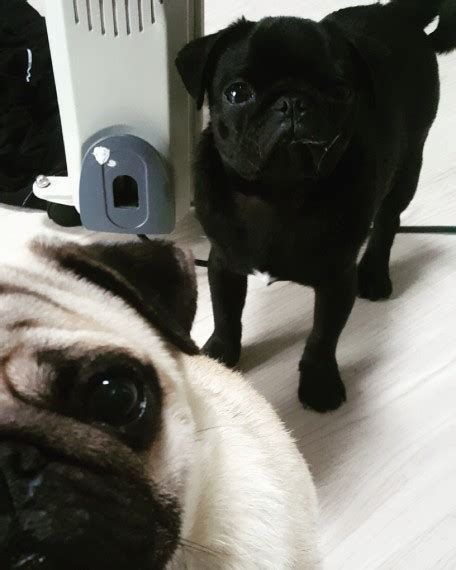 pugs for sale grimsby beautiful pug puppy boy grimsby lincolnshire pets4homes