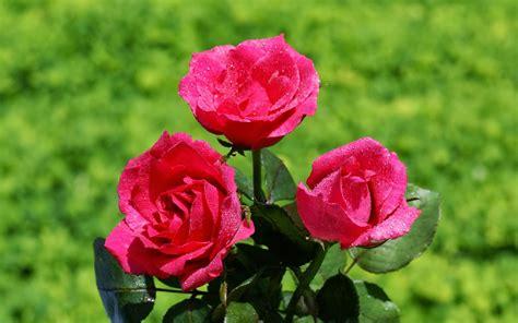 imagenes flores hermosas 3d rosas para todos en movimiento d 237 a del amor y la amistad