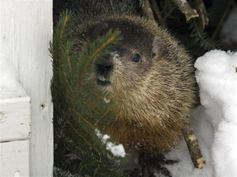 groundhog day ontario wiarton willie predicts early toronto