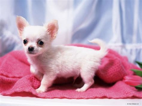 How To Stop Chihuahua From Shedding by Chihuahua Fulvo Breeds Picture