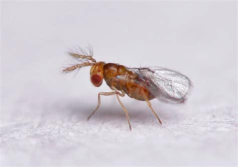 Smallest by Avispita Parasitoide Trichogramma Sp Mide Menos De 0