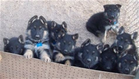 german shepherd puppies for sale san diego german shepherd pups for sale ward kennelsvon ward kennels german shepherd