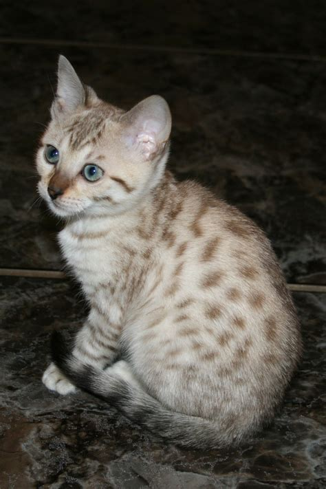 seal lynx point spotted snow bengal kitten by junglelure bengals of seal lynx point bengal cat bengal cat pinterest