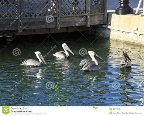 pelican boat key west pelicans at key west stock photo image 47779517