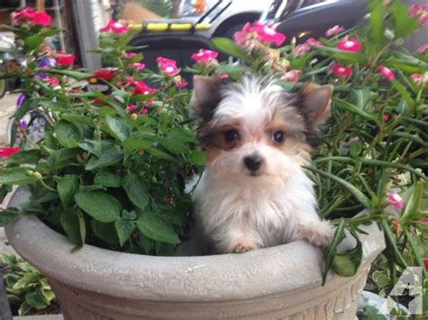 yorkie puppies indiana teacup yorkies puppies for sale in indiana