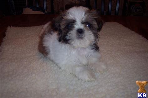 cheap puppies for sale in md cheap shih tzu puppies for sale in maryland