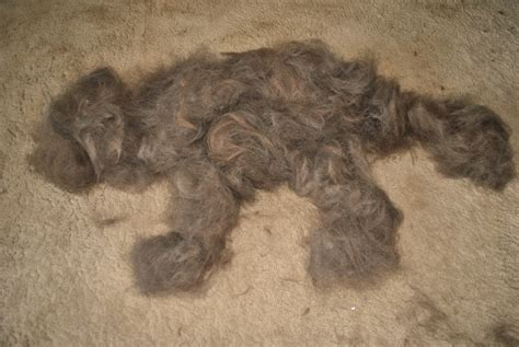dog hair in house dog hair leads to a hairy or harry situation mybrownnewfies com
