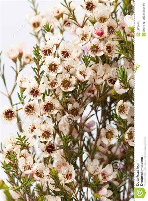 wax flower stock image image  elegant circle