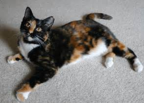 calico cat breed cats types