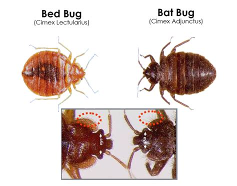bat bug vs bed bug bat bug bites www pixshark com images galleries with a