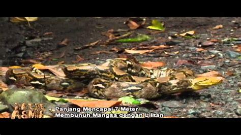 film berburu ular ewon bertemu ular sanca kembang sepanjang 4 meter jej