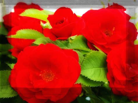 imagenes de rosas descargar gratis fotos de flores rosas rojas para descargar imagenes de