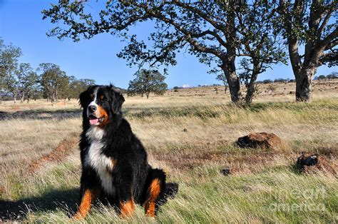 bernese mountain puppies california bernese mountain in california chaparral photograph by gary whitton