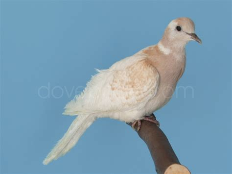 dovepage com ringneck dove colors
