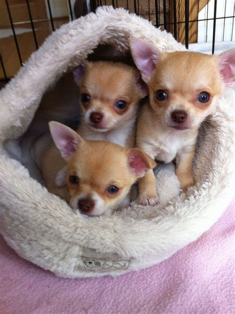 chihuahua puppies for sale in alabama 83 best images about a few of my favorite things on