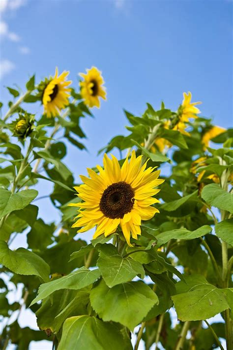Sunflowers Planting History Gardening Varieties The Old Sun Flower Garden