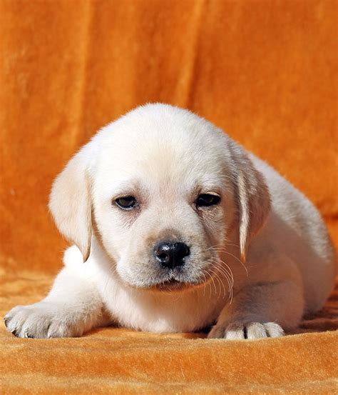small lab miniature labrador small size and dwarfism in labs