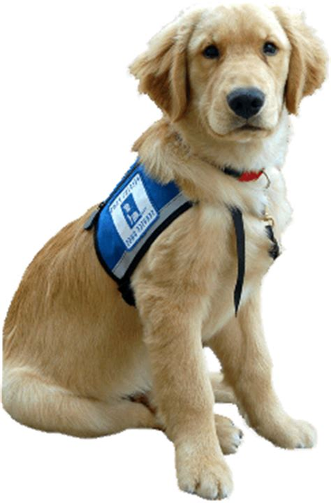 what are service dogs used for service dogs disability info sa