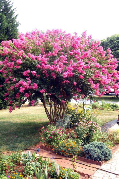 flowers  nature   garden crepe myrtle