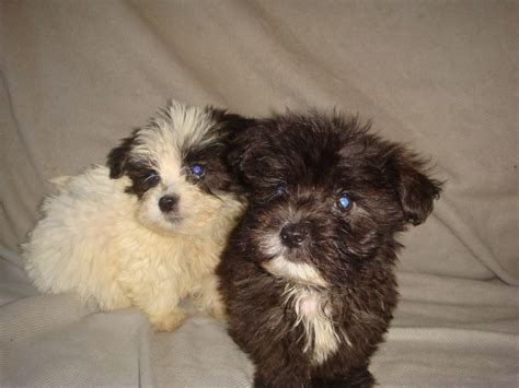 shih tzu cross maltese puppies for sale shih tzu cross westie x maltese puppies middlesex pets4homes