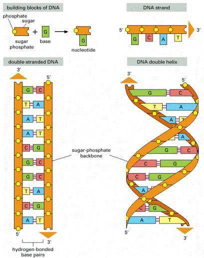 cadenas de adn y arn ejercicios biologia diciembre 2010