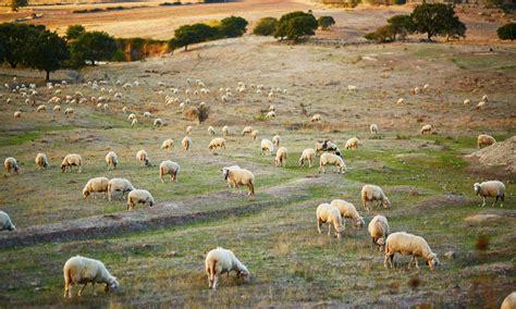 alimentazione pecore il pecorino pu 242 abbassare il colesterolo l intervista