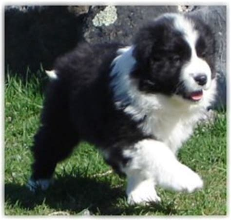 border collie puppies for sale california border collie puppies border collie for sale border collie puppies for sale