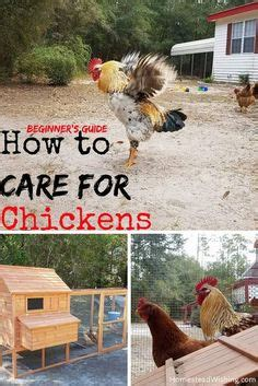 how to care for chickens in your backyard learn more about raising backyard chickens for organic egg
