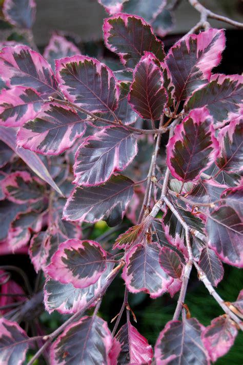 tri color beech tree problems tri color beech fagus sylvatica