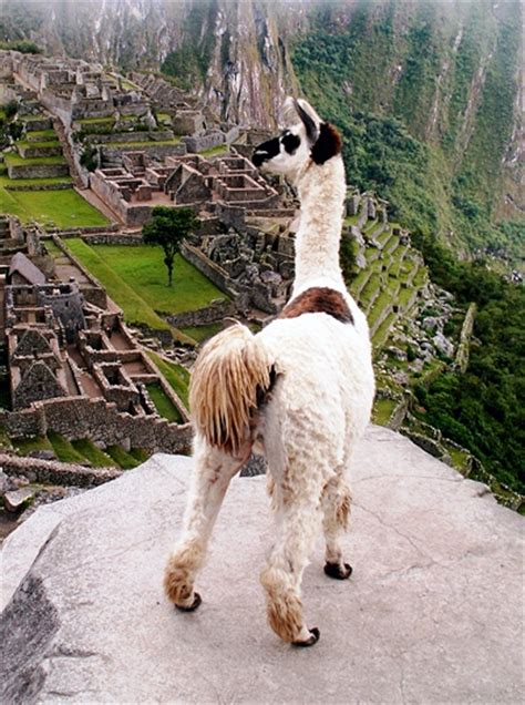 lua the llama and the mountain of books file llama peru machu picchu jpg wikimedia commons