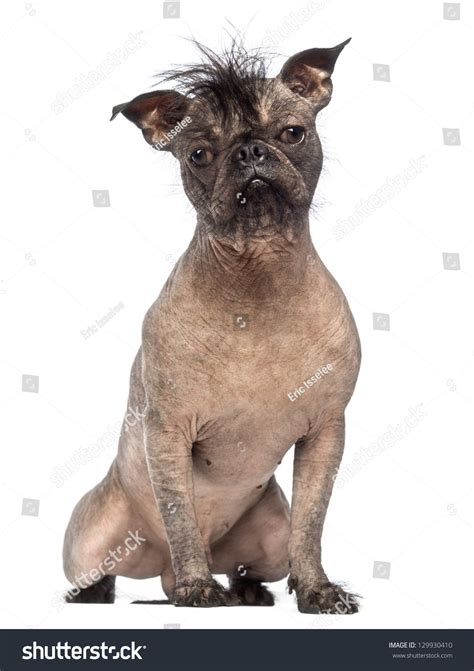 Hairless Mixedbreed Dog Mix Between French Stock Photo