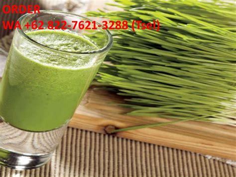 Jual Bibit Rumput Gandum Di Makassar wa 62 822 7621 3288 tsel bibit wheatgrass di bandung