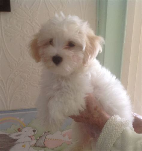 havanese standard grown havanese maltese mix breeds picture