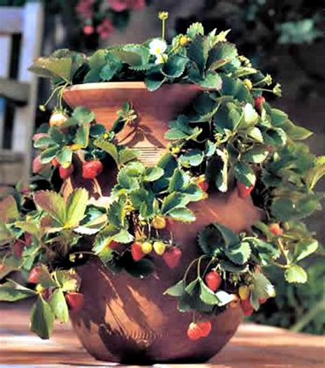 container gardening strawberries 7 tips for growing strawberries in a container