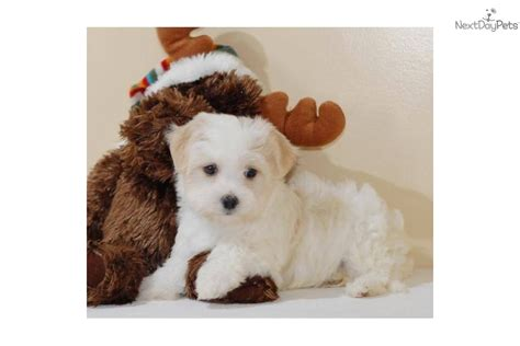 affordable havanese puppies for sale meet danny a havanese puppy for sale for 295 danny www affordablepup