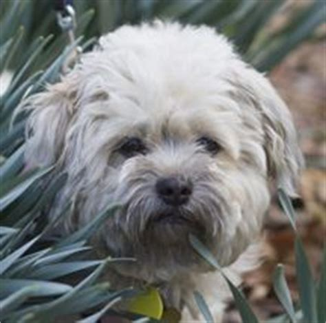 havanese rescue nj jingle is an adoptable shih tzu havanese mix in west milford nj www