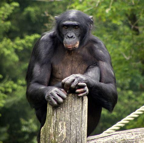 Bonobo - Wikipedia