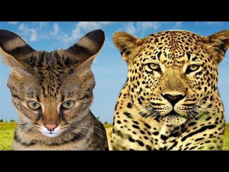 jaguar pattern house cat savannah cat vs leopard highlights youtube