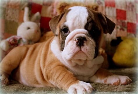 bulldog puppies for free affectionate bulldog puppies available for free adoption