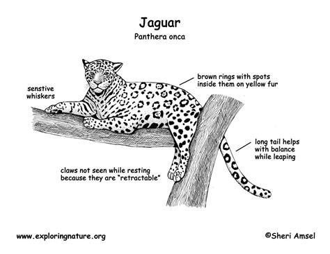 jaguar cycle diagram leopard diagram gallery