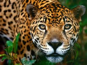 Jaguars In Rainforest Top 10 Facts About Jaguars Rainforest Cruises