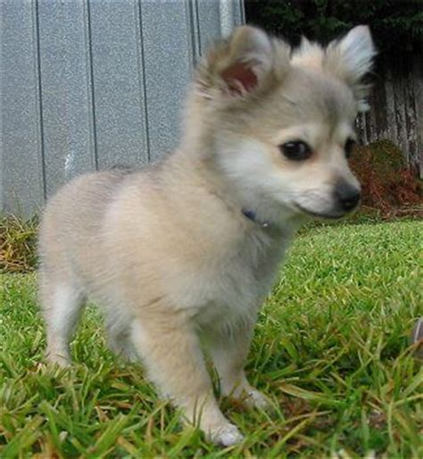 how big do husky pomeranian mix get best 25 pomeranian husky grown ideas on grown pomsky husky
