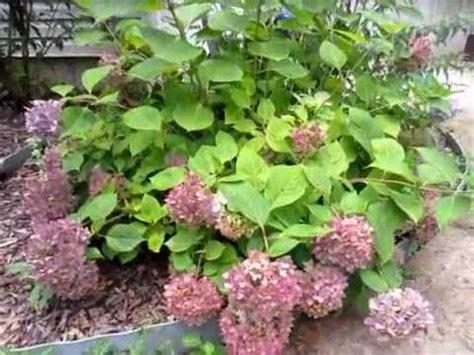 pruning a hydrangea endless summer youtube
