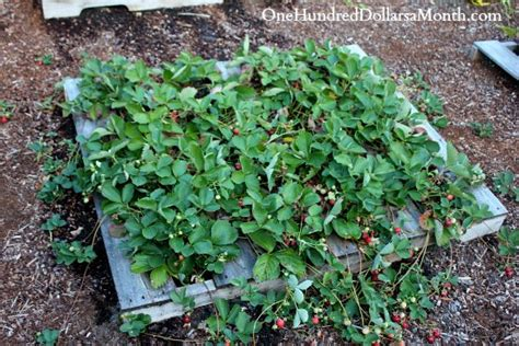 how to plant strawberries in a raised bed how to grow strawberries start to finish one hundred