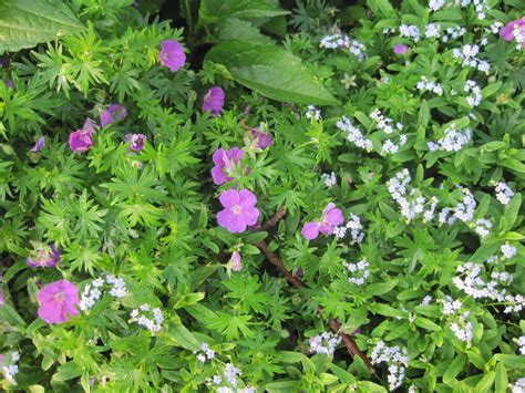 from seed to scrumptious perennial geranium